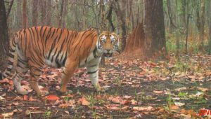 tiger-safari-in-nepal