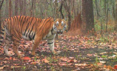 tiger-safari-in-nepal